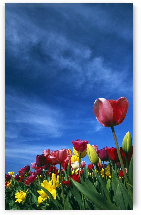 Tulips In Field by PacificStock