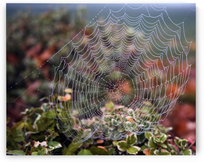 Spider Web With Dew by PacificStock