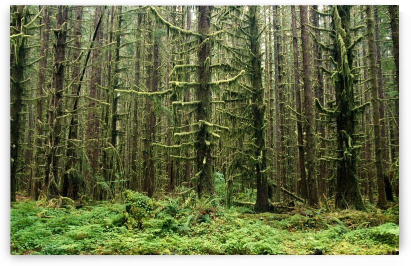 Old Growth Forest In The Hoh Rain Forest At Olympic National Park, Washington, United States Of America by PacificStock