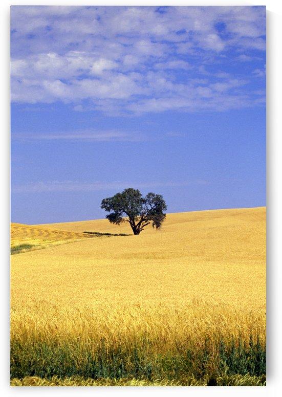 Oak Tree In Wheat Field by PacificStock