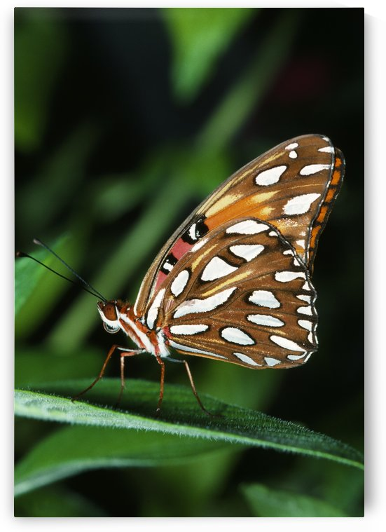 Gulf Fritillary Butterfly On A Leaf by PacificStock