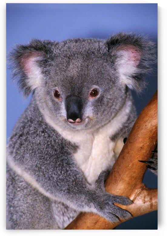 Koala On Tree Branch by PacificStock