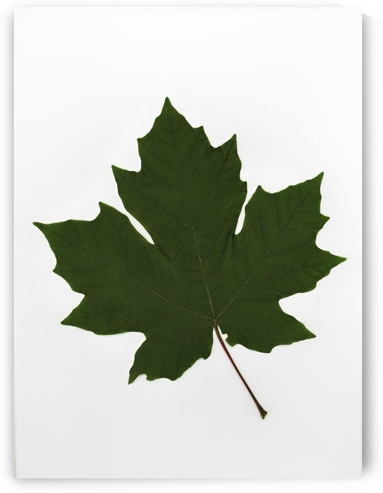 Green Maple Leaf by PacificStock