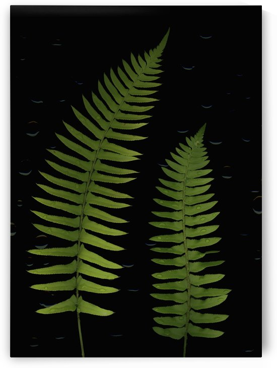 Fern Leaves With Water Droplets by PacificStock