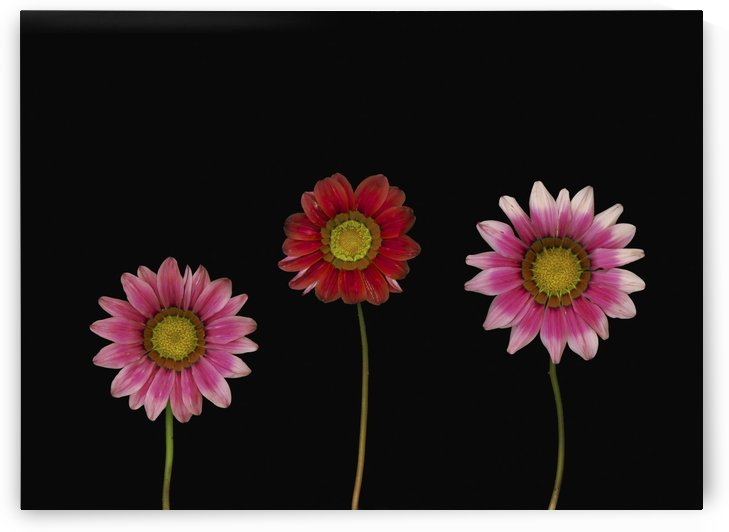 Bright Colorful Daisies by PacificStock