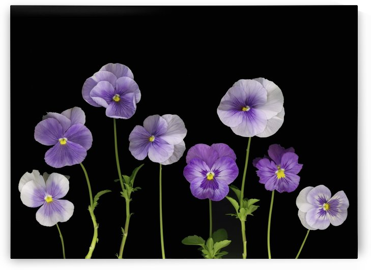 Pansies by PacificStock