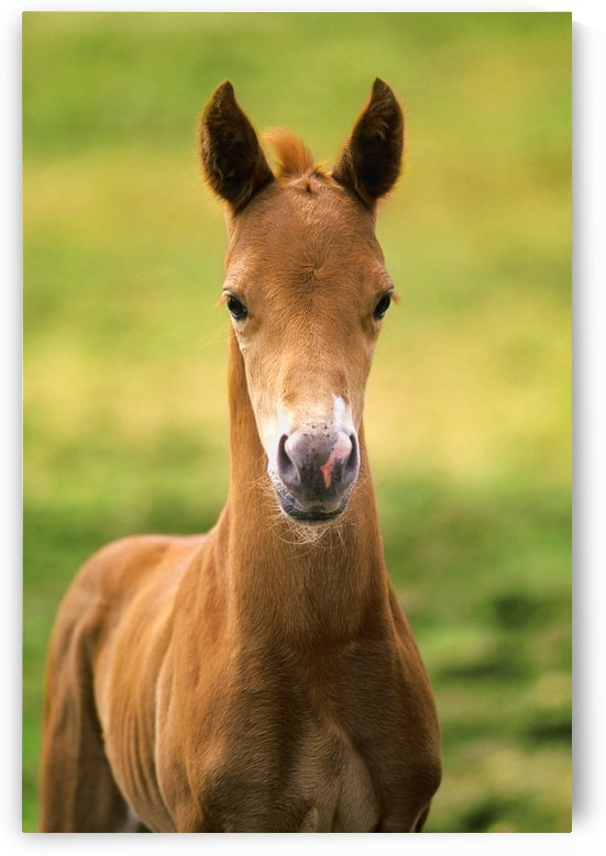American Paint Horse Colt by PacificStock