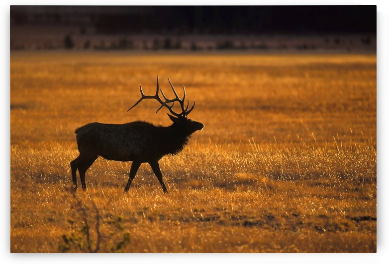 Elk In Yellowstone National Park by PacificStock