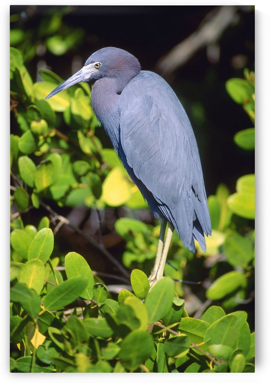 Little Blue Heron by PacificStock