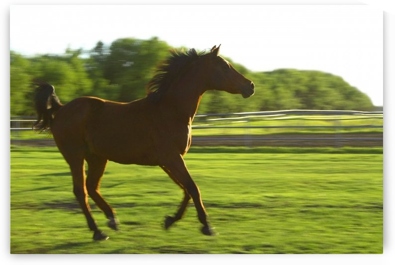 Horse Galloping by PacificStock