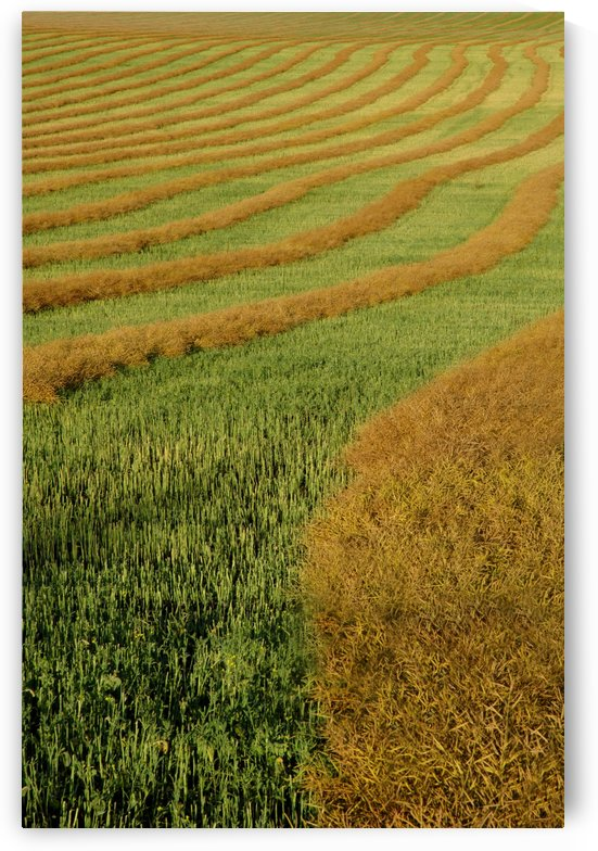 Rows Of Canola Windrows by PacificStock