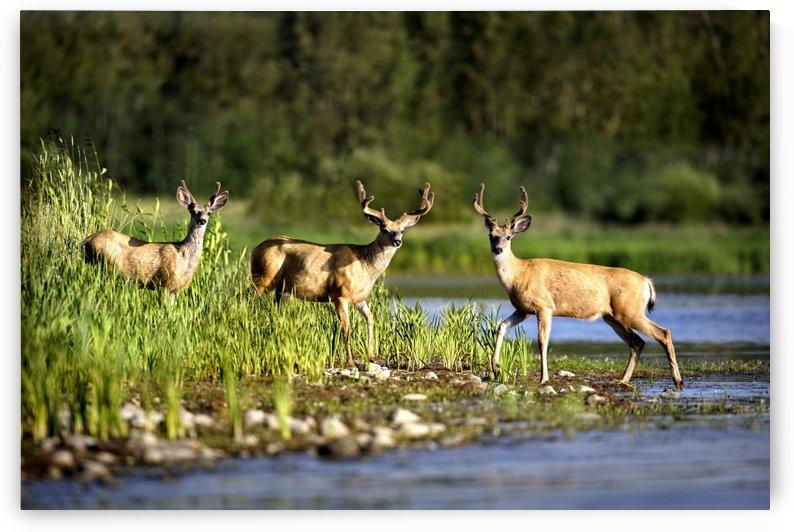 Deer by PacificStock