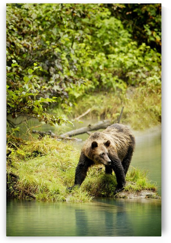Grizzly Bear On Shore by PacificStock