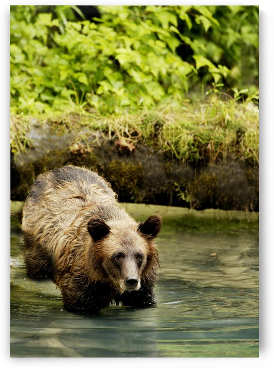Grizzly Bear by PacificStock