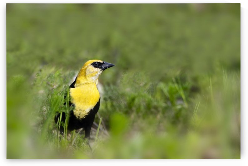 Yellow Headed Blackbird by PacificStock