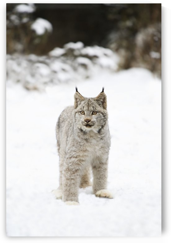 Wild Lynx by PacificStock