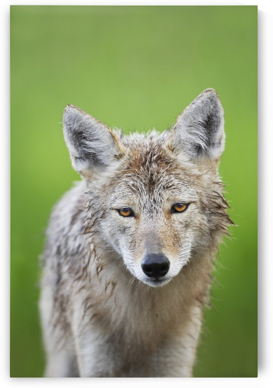 Coyote by PacificStock