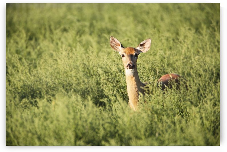 Deer In The Brush by PacificStock