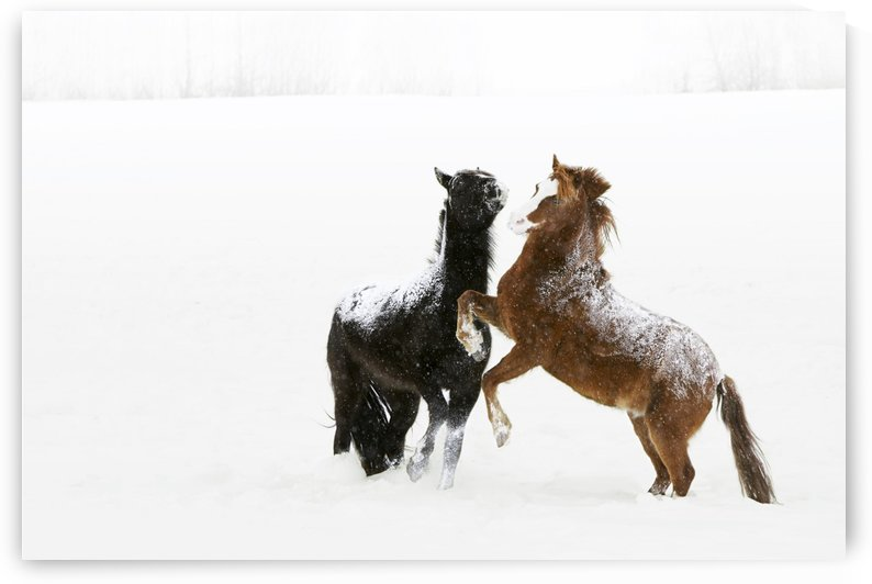 Horses Prancing In The Snow by PacificStock