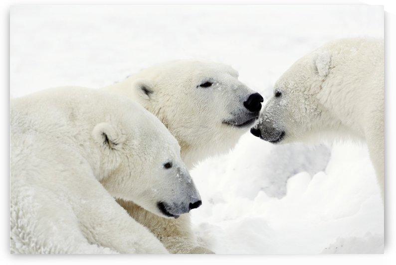 Polar Bears by PacificStock