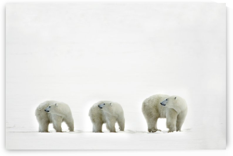 Polar Bears Looking Over Their Shoulders by PacificStock