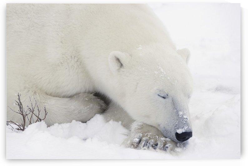Sleeping Polar Bear by PacificStock