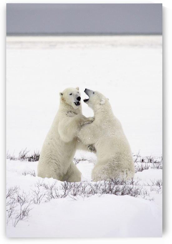 Polar Bears Fighting by PacificStock