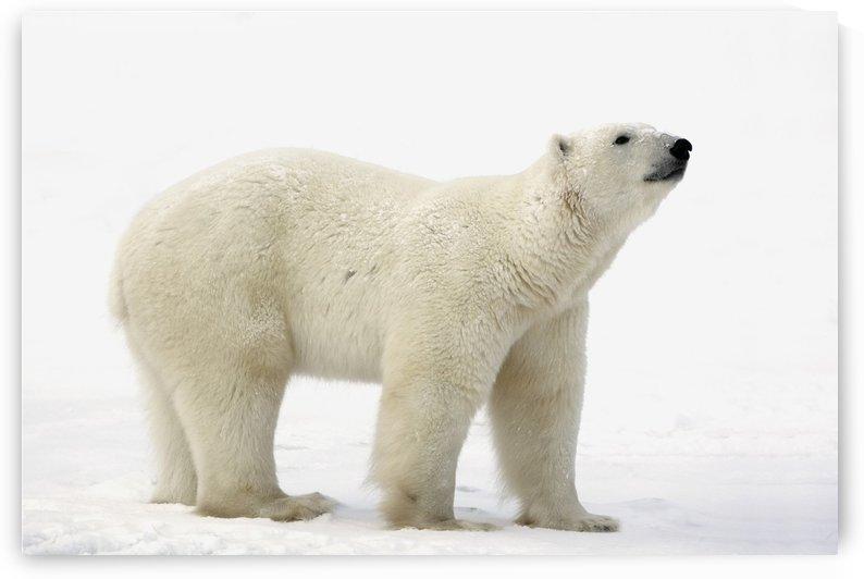 Polar Bear (Ursus Maritimus) by PacificStock