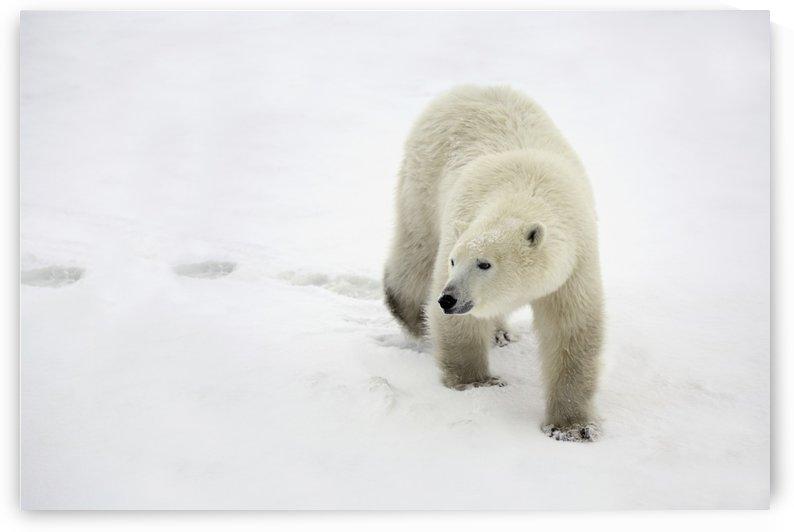 Polar Bear Walking by PacificStock