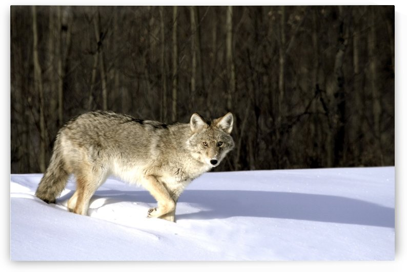 Coyote In Winter by PacificStock