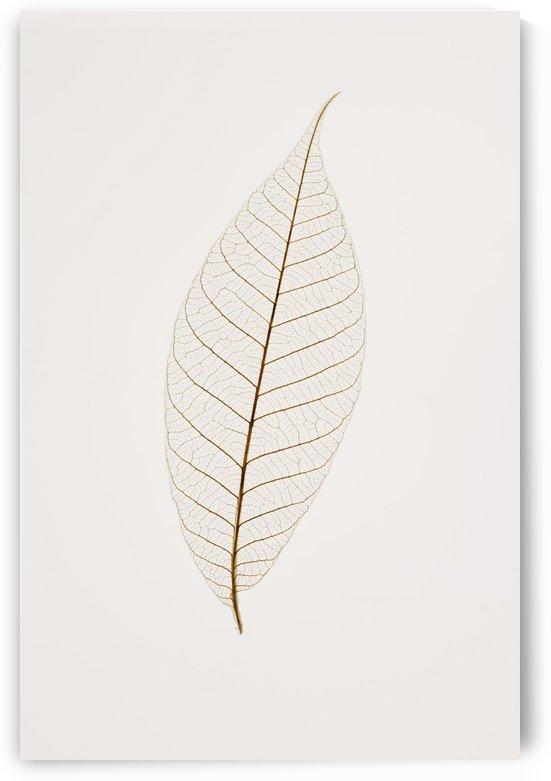 Transparent Leaf by PacificStock