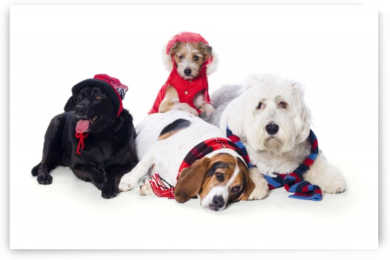 Dogs Wearing Winter Accessories by PacificStock