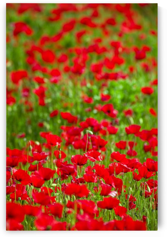 Poppy Field by PacificStock
