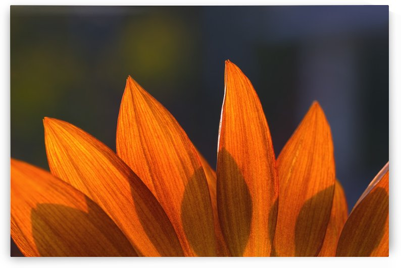 Sunflower Close-Up by PacificStock