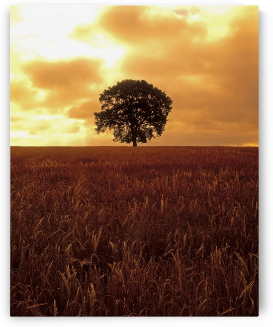Oak Tree In A Barley Field, Ireland by PacificStock