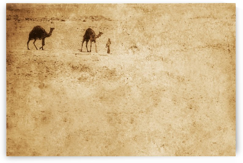 Camels In The Desert by PacificStock