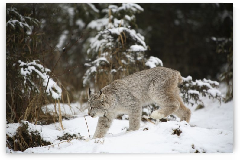 Lynx In The Snow by PacificStock