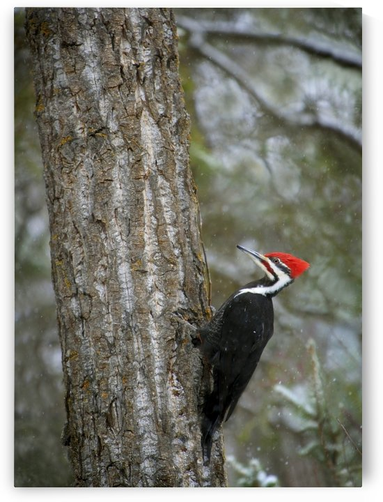 Pileated Woodpecker by PacificStock