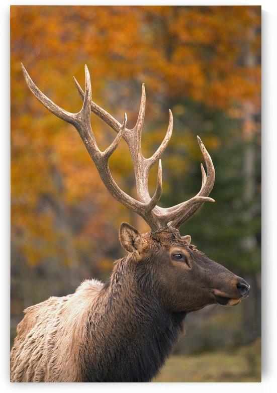 Bull Elk, Jasper National Park, Alberta, Canada by PacificStock