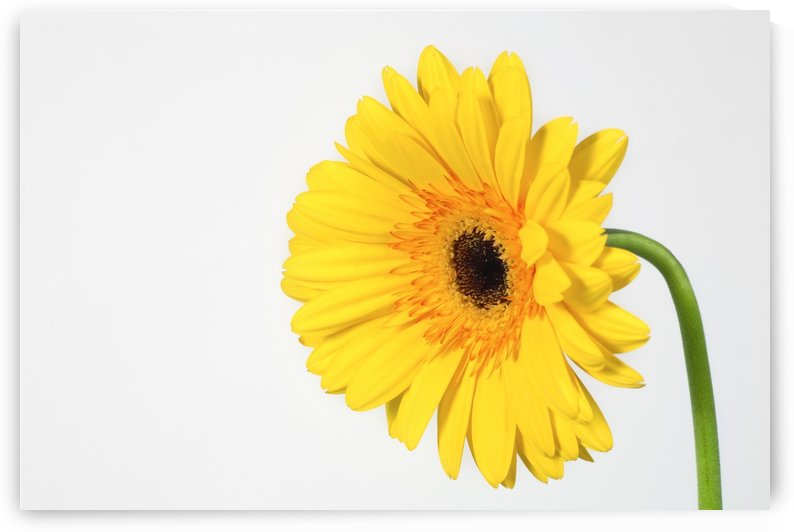 Yellow Gerbera by PacificStock