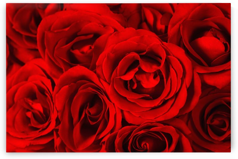 Close Up Of Red Roses by PacificStock