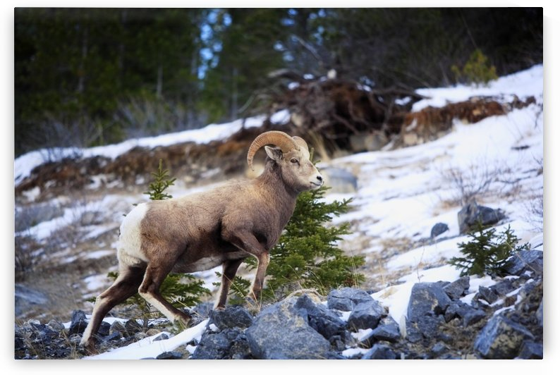 Bighorn Sheep Climbing Snowy Rocky Hill by PacificStock