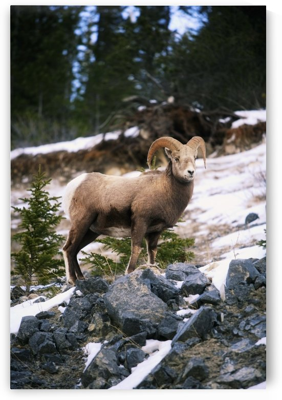 Bighorn Sheep Standing On Rocks by PacificStock