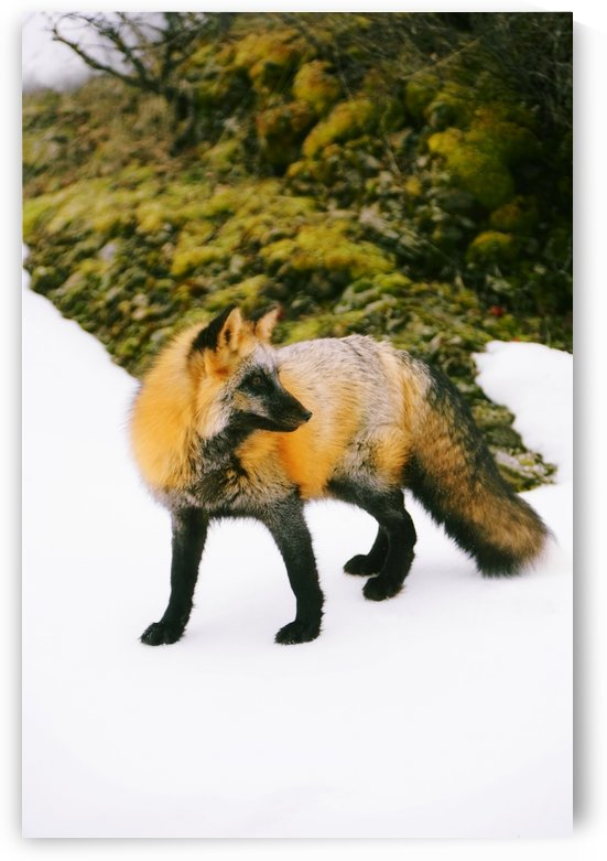 Fox On Snow by PacificStock