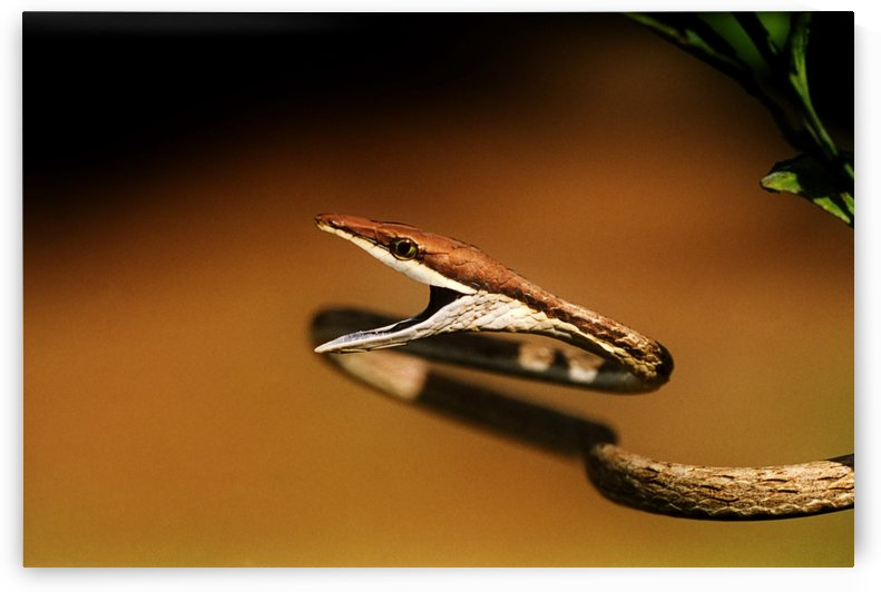 A Brown Vine Snake With Its Mouth Open by PacificStock