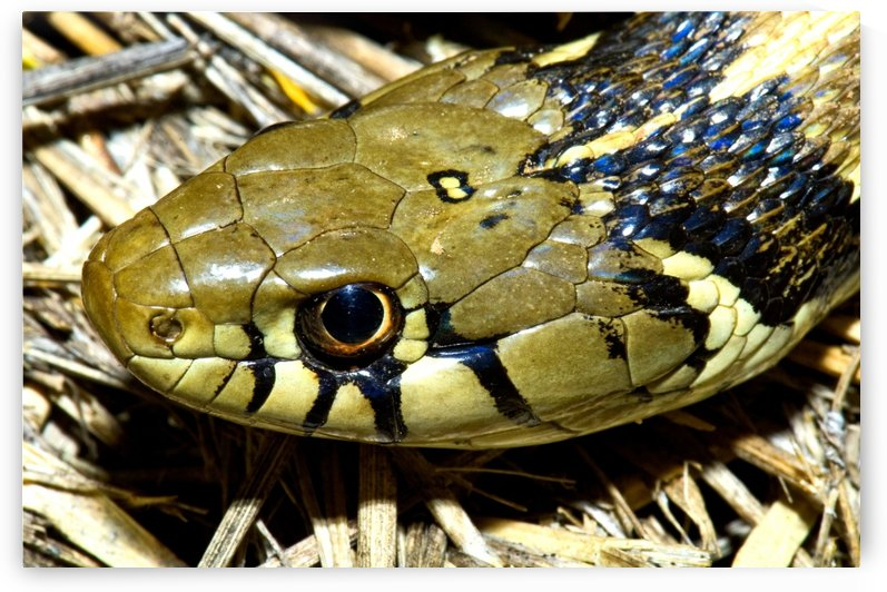 Checkered Garter Snake's Head by PacificStock