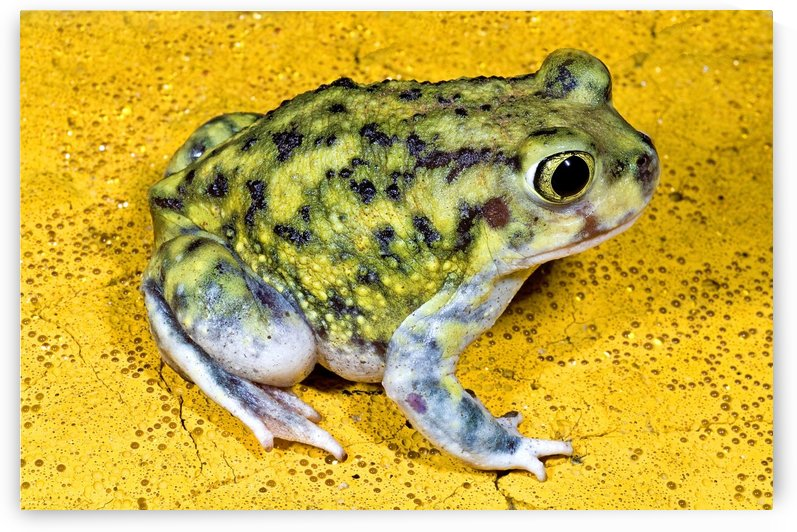 A Spadefoot Toad by PacificStock