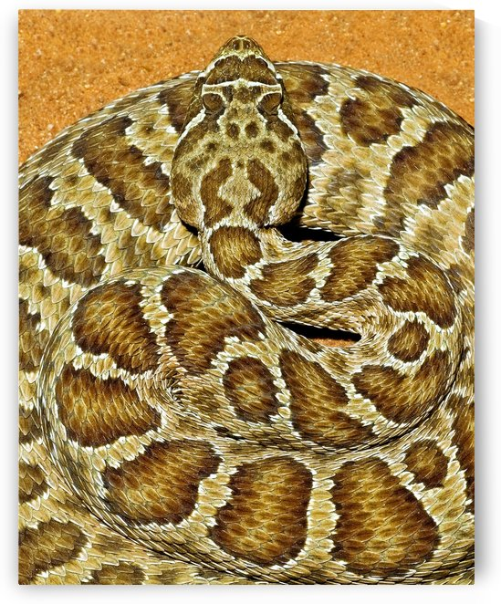 A Prairie Rattlesnake, Crotalus Viridis, Sitting On A Road by PacificStock