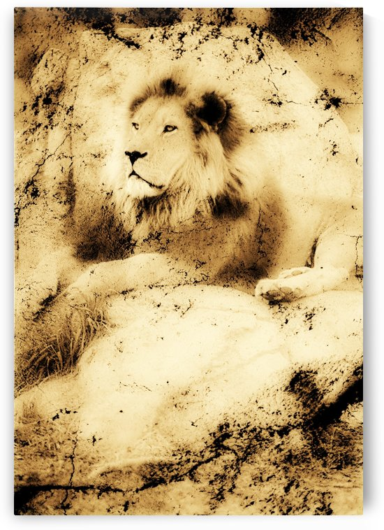 Old Photograph Of A Lion On A Rock by PacificStock