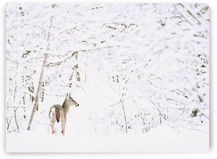 Deer In A Forest by PacificStock